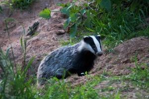 Badger J Harding