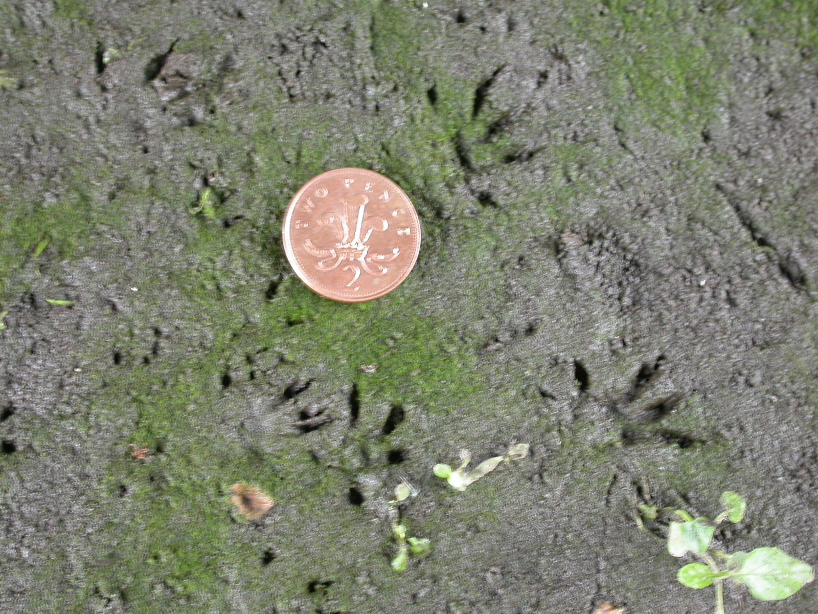 water-vole-prints